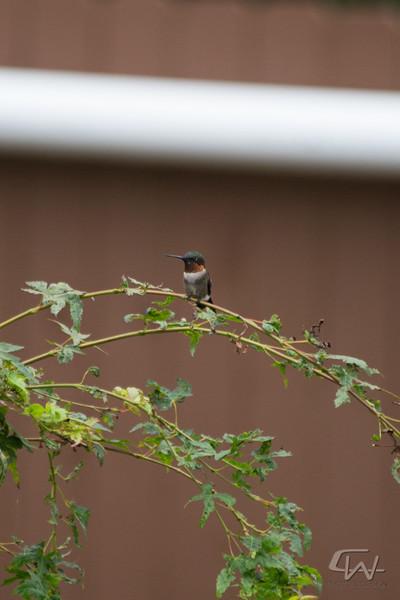 Hummingbird-1941.jpg