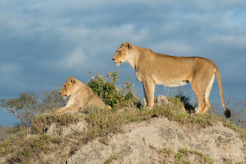 African Lion, Sabi Sands (EP), SA, Sept 2015-14.jpg