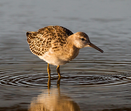 Sandpipers, Phalaropes, and Allies (Scolopacidae)