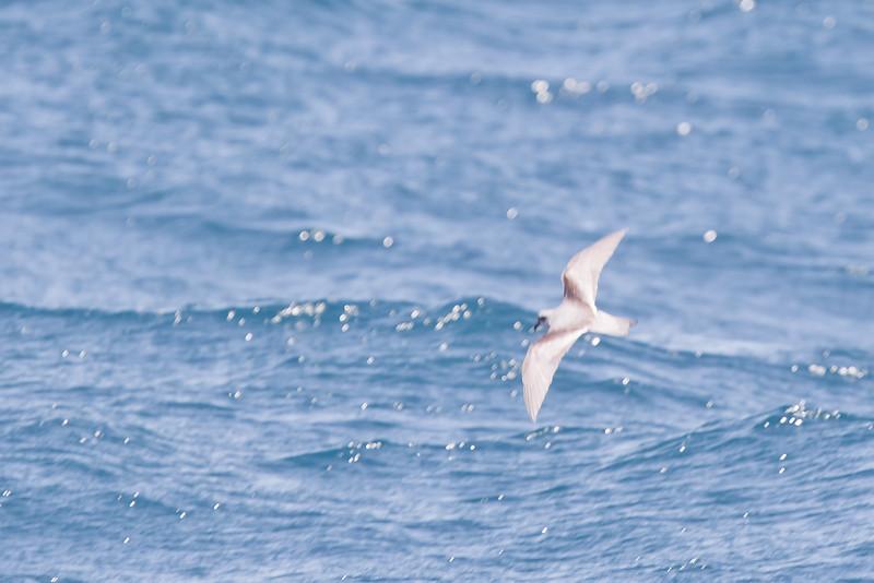 Fork-tailed Storm-Petrel - Off Half Moon Bay, CA