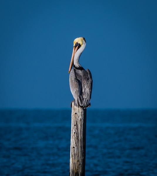 Pelican Solo 120217.jpg