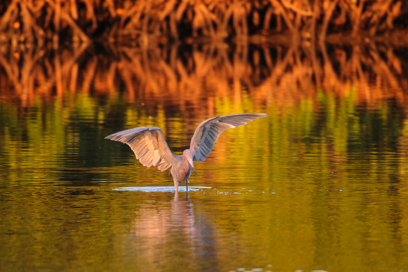 Egret - Reddish - Ding Darling NWR - Sanibel Island, FL