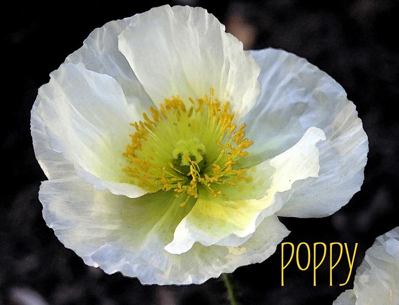 Poppy 01