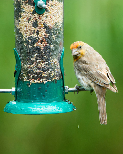 Irregular male House Finch