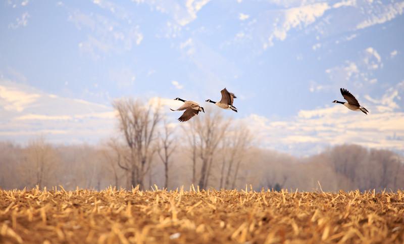 Geese in flight. 5455