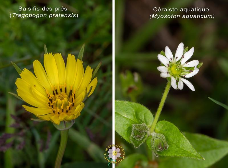 Salsifis des prés (Tragopogon pratensis)