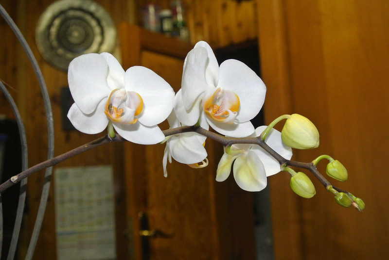 2013-05-05 Orchid 'Remi' 02.JPG