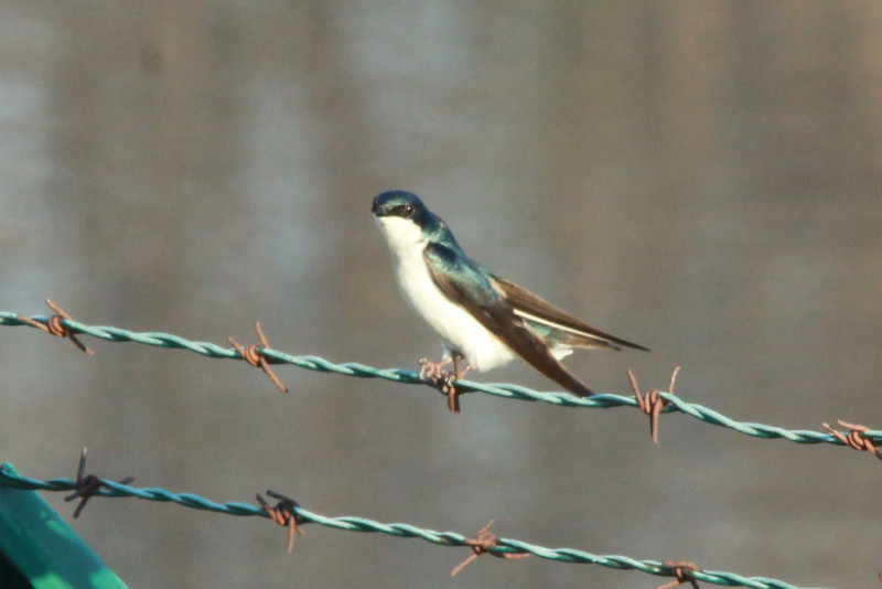 Tree Swallow @ Simpson Lake CP [water treatment pond]
