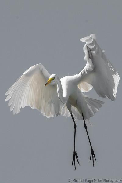 Vampire Egret