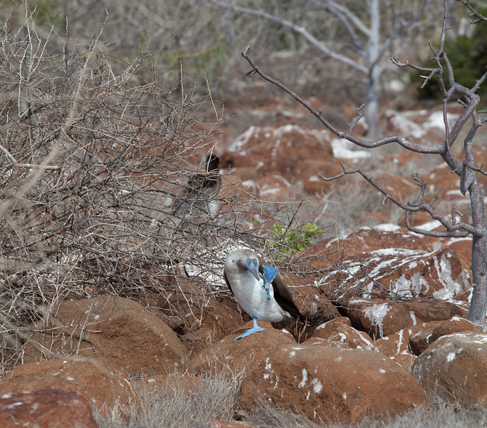 A blue-footed booby wave.