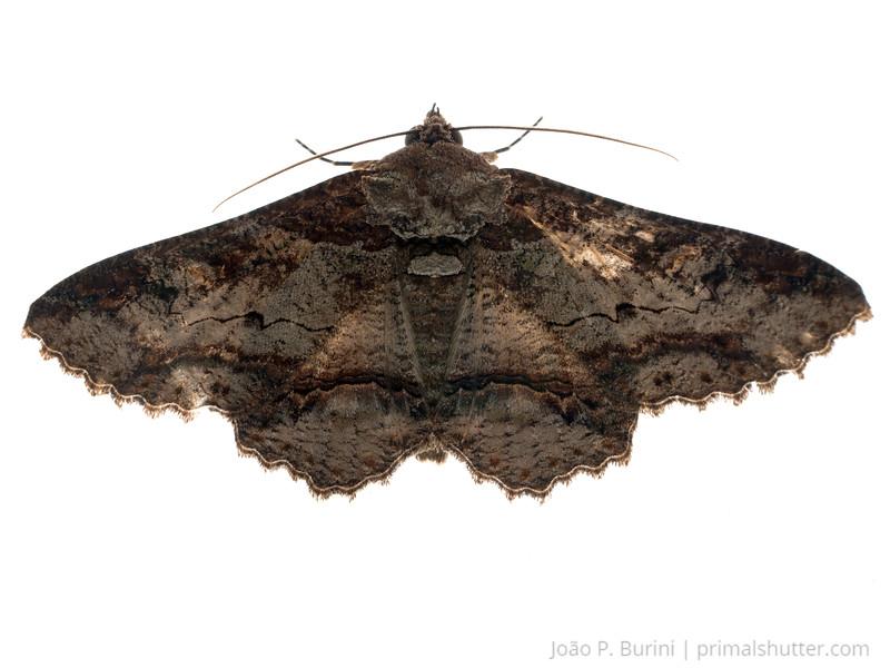Black arctiid moth (Arctiidae, Ascalapha sp.) São Lourenço, Minas Gerais, Brazil Urban December 2017