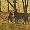 Backlit tigress and cub at play