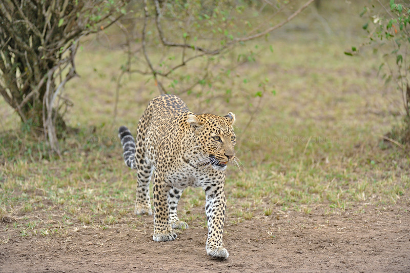 African Leopard (Panthera pardus pardus)  in the woodlands of Masai Mara in Kenya, Africa