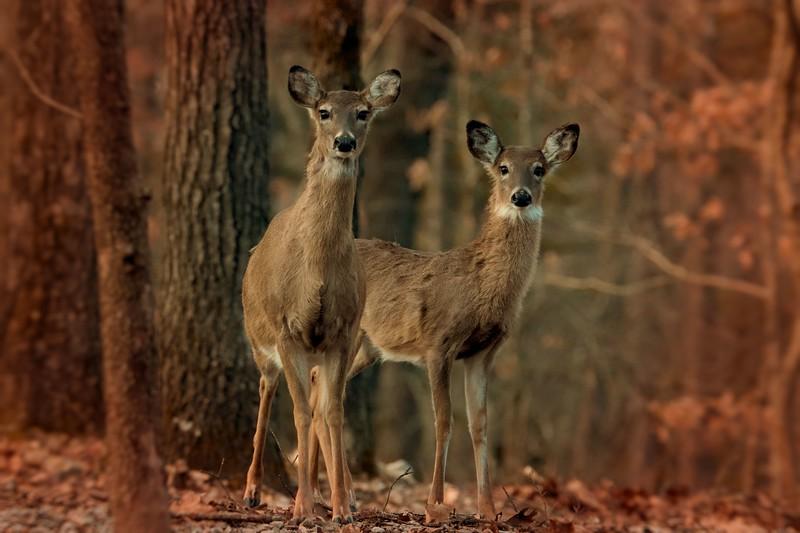 2.26.19 - Prairie Creek Park: Whitetail Deer.