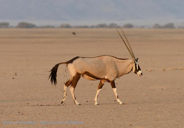 Oryx; Namibië; Oryx gazella; Oryxantilopen; Spiesbok; Gemsbok; Namib Desert