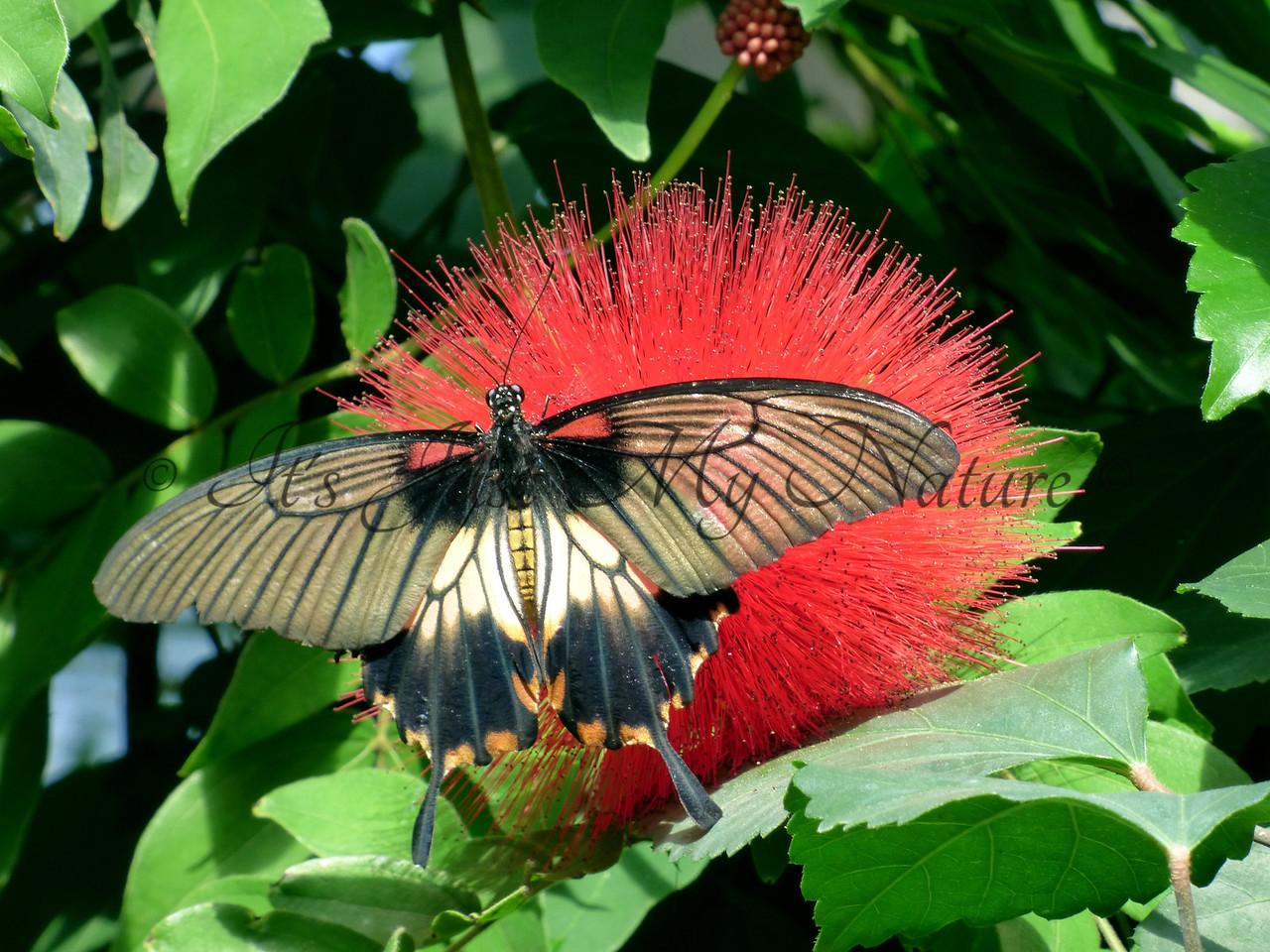 Lowii Swallowtail on Calliandra