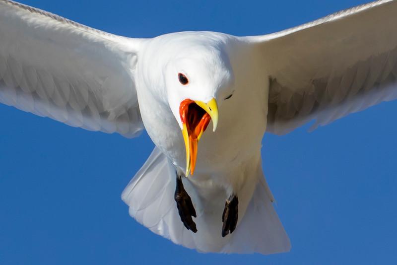Fugle-Ride-RissaTridactyla-2015-05-13-_W4A0651-Danapix.jpg