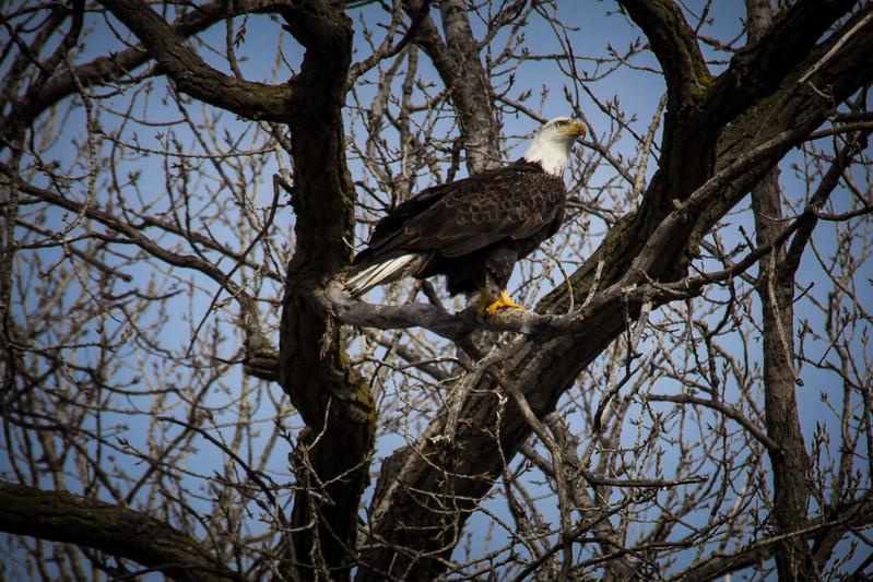 Eagle sitting-7053.jpg
