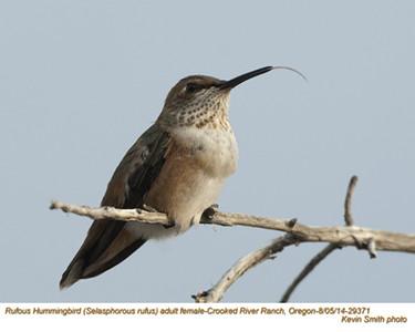 Rufous Hummingbird F29371.jpg