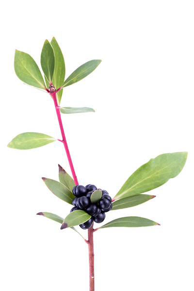 Tasmanian Pepper Berry 100mm 9p.jpg