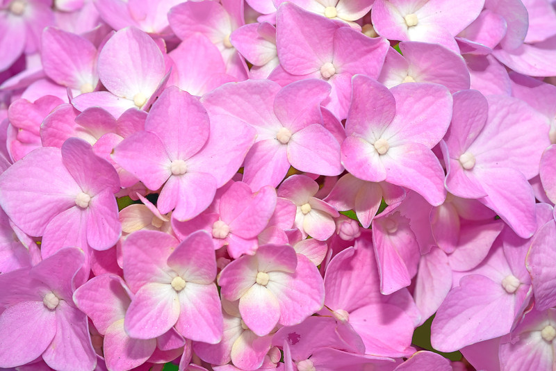 Pink Hydrangea Florets