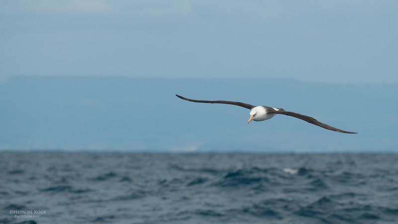 Campbell Albatross, Wollongong Pelagic, NSW, Oct 2009-3.jpg