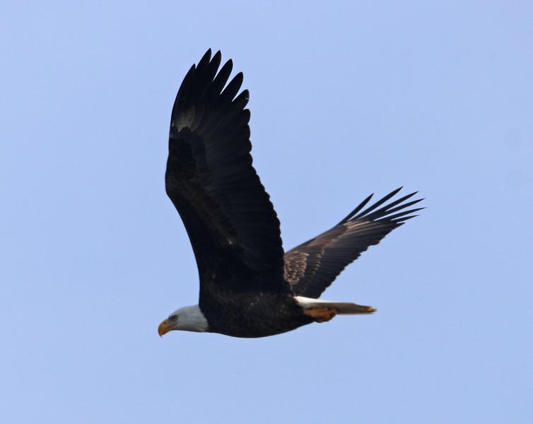 Bald eagle 11