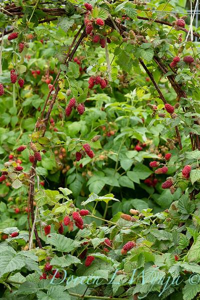 Raspberries on the vine_5378.jpg