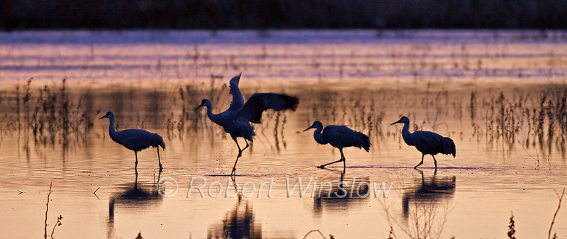 Sandhill Cranes, Grus canadensis, Morning, Bosque del Apache National Wildlife Refuge, New Mexico, USA, North America