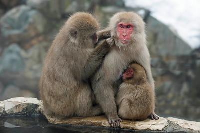 Japan Winter Wildlife - Snow Monkeys