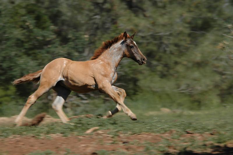 Wild Horse Foal Running #2