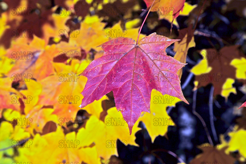Sugar Maple Leaves (Acer saccharum).