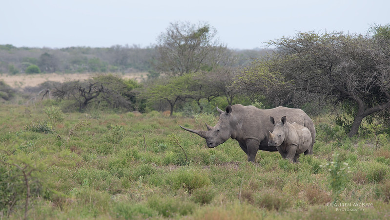 White Rhino, Phinda, KZN, SA, Oct 2016-2.jpg