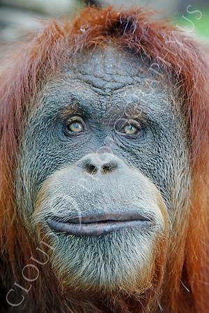 Orangutan Wildlife Photography