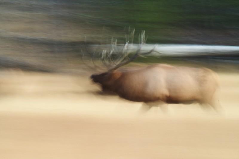 Elk running blur Yellowstone NP WYIMG_0000345.jpg
