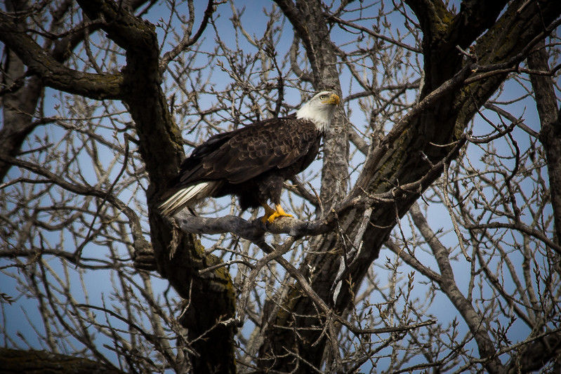 Eagle sitting-7040.jpg