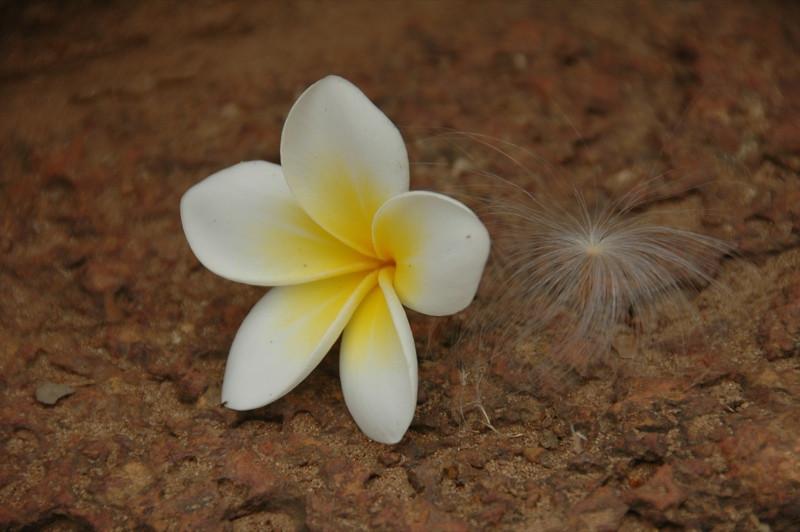 Plumeria Flower - Battambang, Cambodia