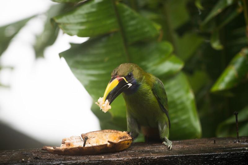 Emerald Toucanet Eating