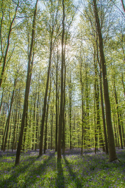 Beech trees towering over Bluebells, Hallerbos forest, Belgium
