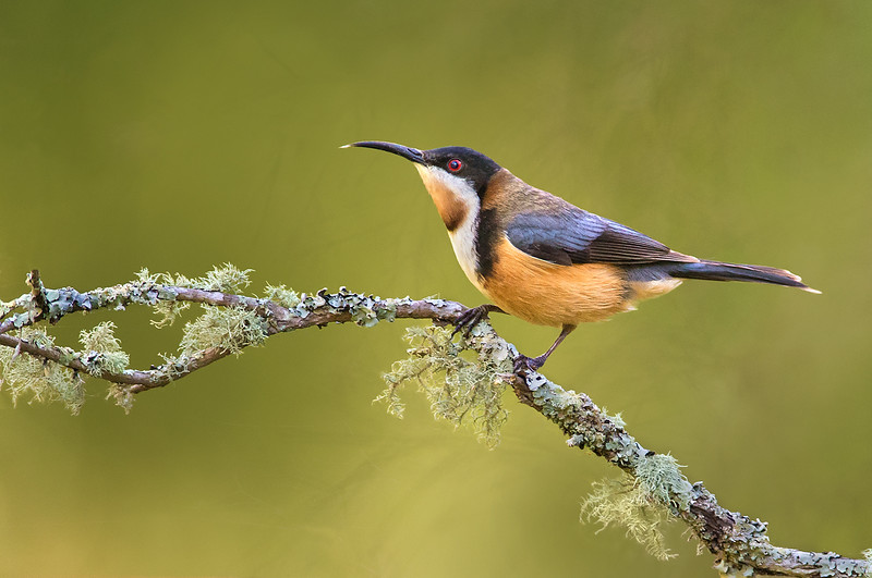 Eastern Spinebill - Acanthorhynchus tenuirostris (Walkerville South, Vic)