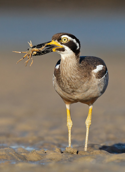 Beach Stone Curlew with a crab MASTER.jpg