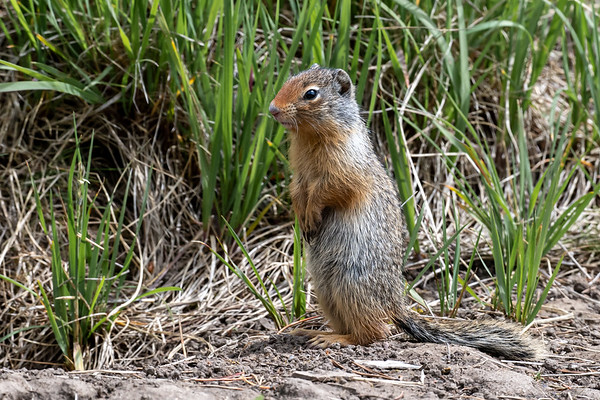 7-8-20 Columbian Ground Squirrel