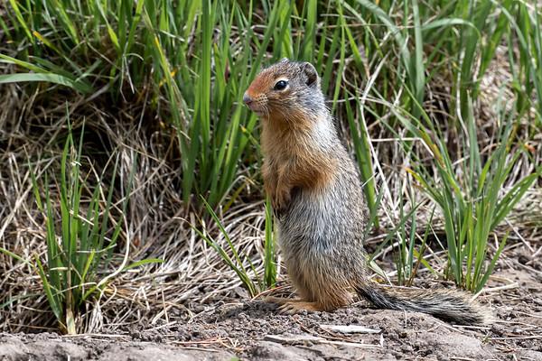 7-8-20 Columbian Ground Squirrel
