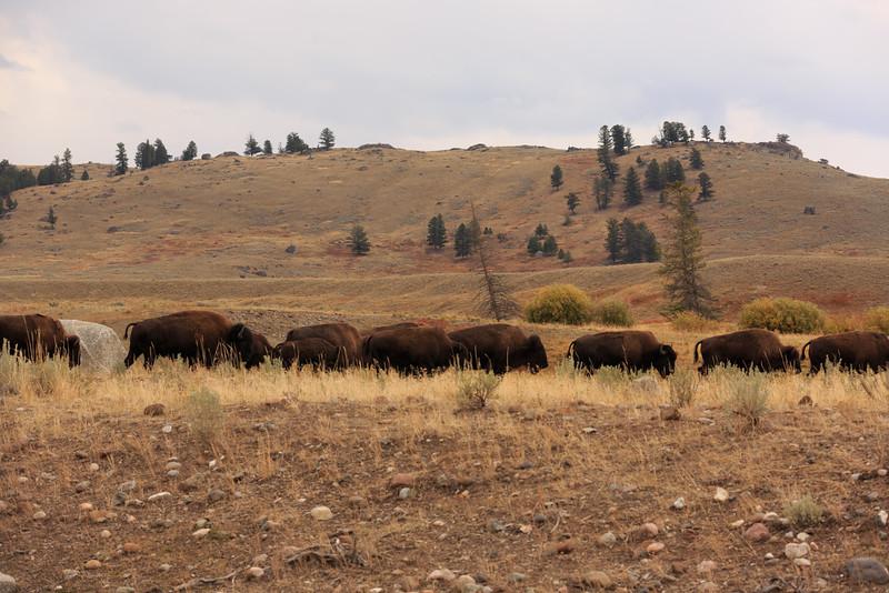 Buffalo (Lamar Valley) 001