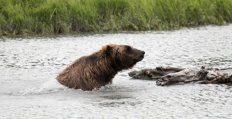 Brown Bear shaking off water.jpg