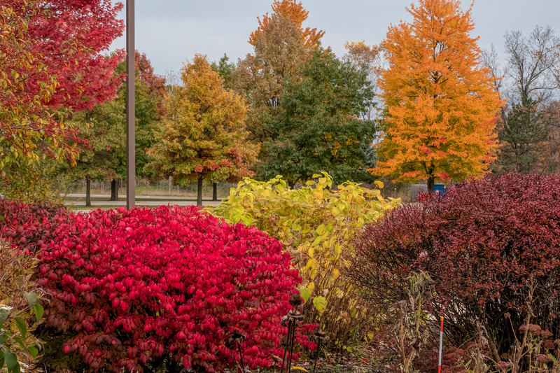 D298-2019 Burning bush, euonymus alatus Other sources of fall color include hydrangea (pale yellow green), crabapples, red maple, sugar maple, and barberry (dusty purple, right edge)  Rest area, Hwy I-75N, Michigan Taken October 25, 2019