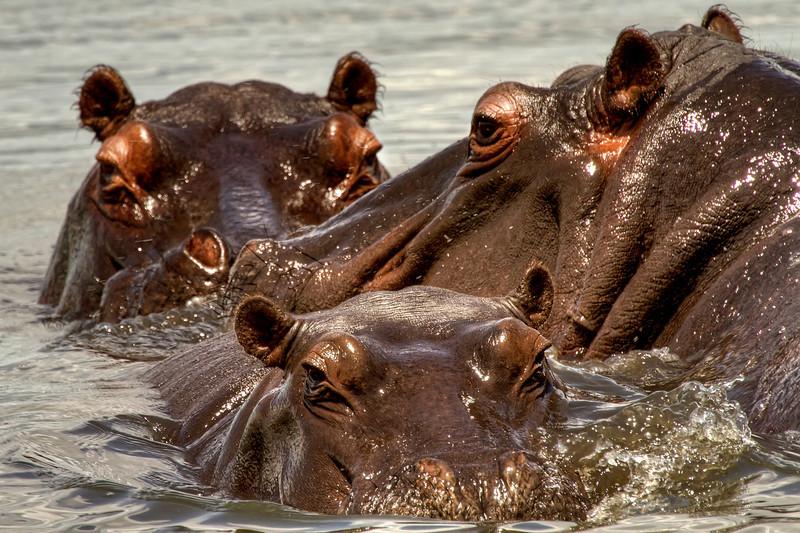 Three-Hippos.jpg
