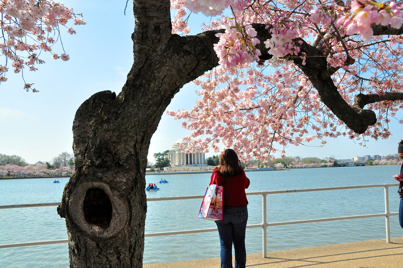 Cherry Blossoms 2014 019.jpg