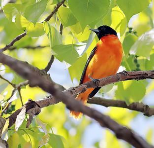 SONGBIRDS,