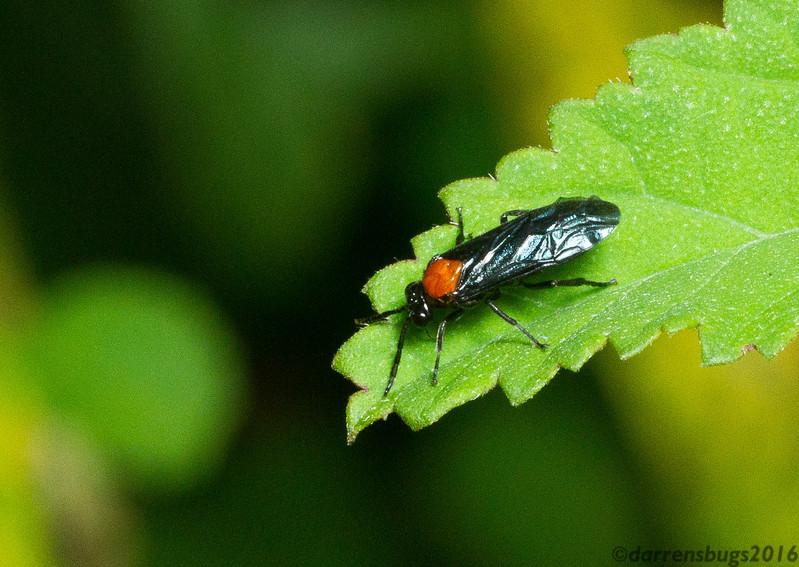 Sawfly, possibly Argidae, from Monteverde, Costa Rica.